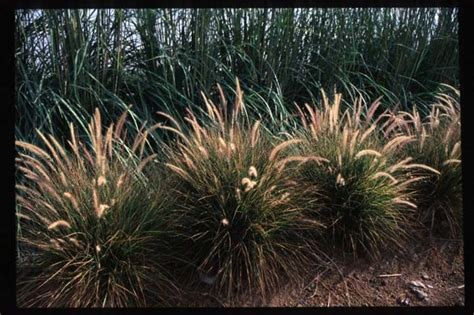 pennisetum eaton 17 best images about pennisetum setaceum on pinterest gardens reddish brown and pictures of