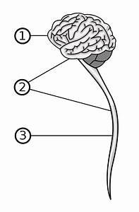 File Central Nervous System Svg