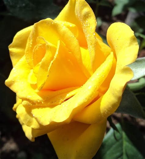 Rosa Amarelo Ouro   Flores - Cultura Mix