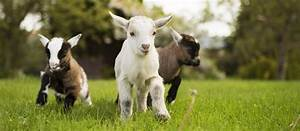 Baby goats born | News from The Olde House | The Olde House