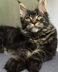Maine coon kitten 5 months brown tabby blotched ...