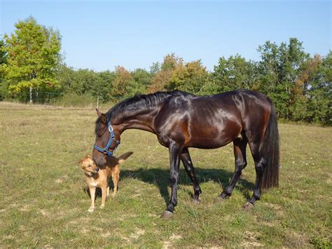 horse dog horses grazing equine riding pure arab trail stallion blood mare breeding vertebrate pasture horseback pre rein foal surveys