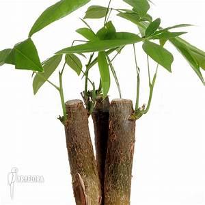 Araflora, exotic flora & more - Pachira aquatica