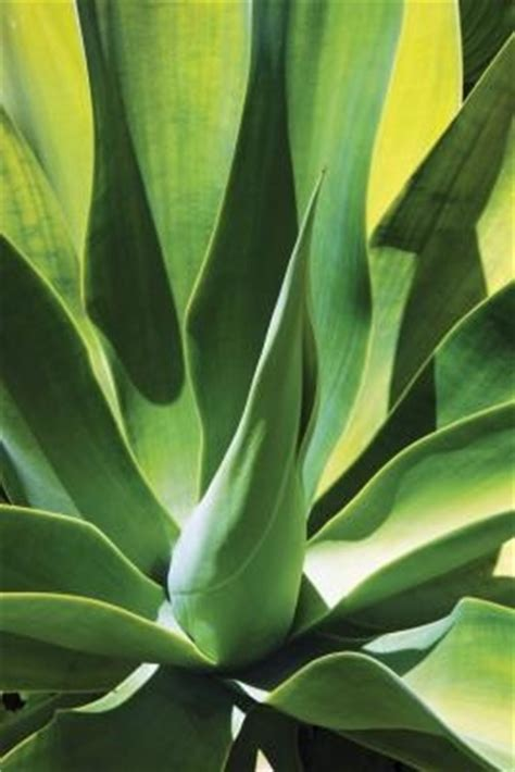 how to care for agave plant how to care for a blue agave plant with pictures ehow