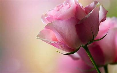 Rose Flower Wallpapers Different
