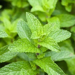 Kann Man Minze Einfrieren : minze pfefferminze pflanzen und pflege anleitung ~ Lizthompson.info Haus und Dekorationen