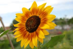 Small Sunflower Flowers