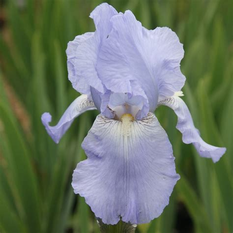 buy bearded iris iris phillips delivery by crocus