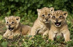 Funny baby lion pictures |Funny Animal
