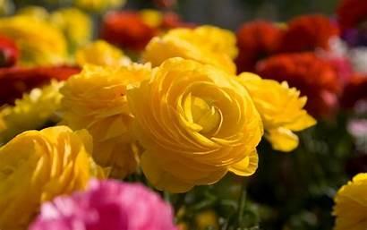 Flowers Yellow Nature Wallpapers Flower Desktop Roses