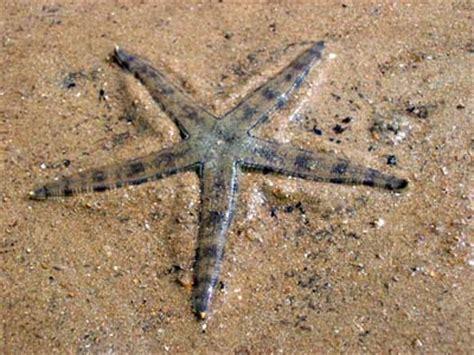 archaster typicus etoiles de mer ophiures d 233 tritivores aquarium r 233 cifal aquarium marin