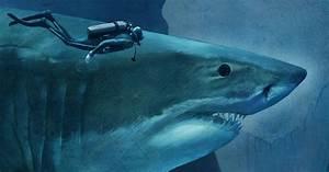 Zambezi Shark Next To Human Diagram