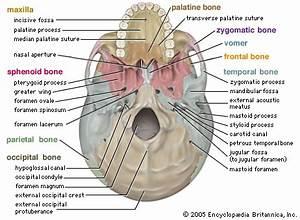 skull   anatomy   Britannica.com