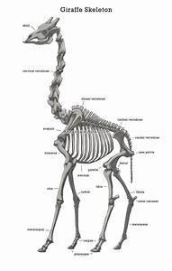 anatomy study of a giraffe based on google image search With giraffe diagram