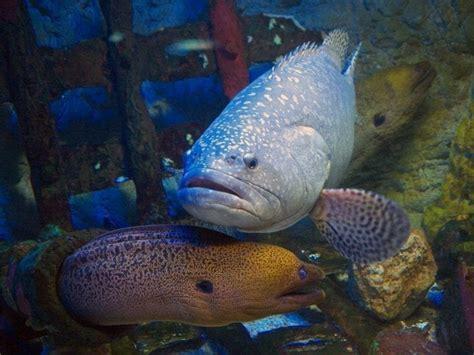 moray eel grouper eels groupers fish