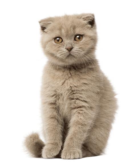 Cats Breeders by Scottish Fold Breeders Australia Scottish Fold Info