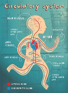 Vector Cartoon Illustration Of Human Circulatory System