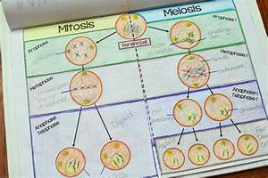 Mitosis Vs Meiosis Flipbook