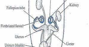 Biozoom  Female Reproductive System