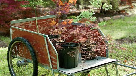 plant  japanese maple tree southern living