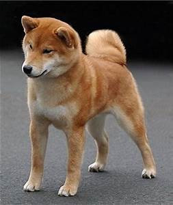 Lil' Dog Whisperer: The Little Fox ~ The Shiba Inu