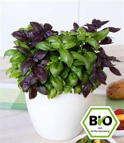 basilikum pflanze pflege bio pesto basilikum 1a pflanzen kaufen baldur garten