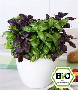 Basilikum Im Topf Pflege : bio pesto basilikum 1a pflanzen kaufen baldur garten ~ Orissabook.com Haus und Dekorationen