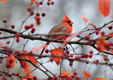 cardinal  crabapple tree birds  blooms