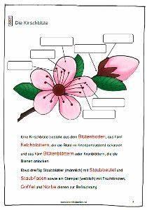 Aufbau Einer Kirschblüte : kirschen lehrmittel perlen pinterest ~ Frokenaadalensverden.com Haus und Dekorationen