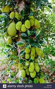 Jackfruit tree, China Stock Photo: 29831037 - Alamy
