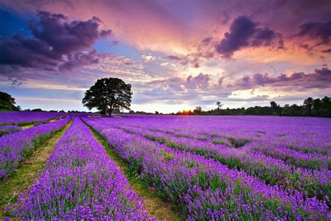 lavender flower backgrounds pixelstalknet
