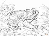 Toad Coloring Pages American Cane Printable Frog Drawing Drawings Paper Cartoon Getcoloringpages Designlooter Friends sketch template