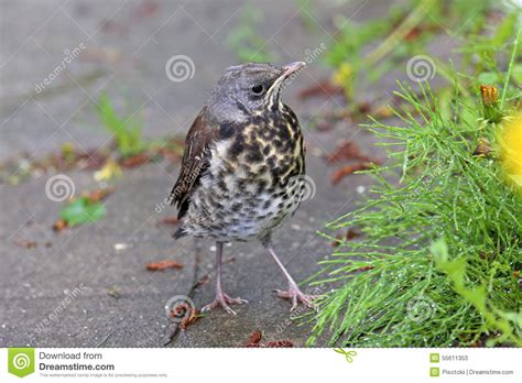 Young Thrush Stock Photo Image 55611353