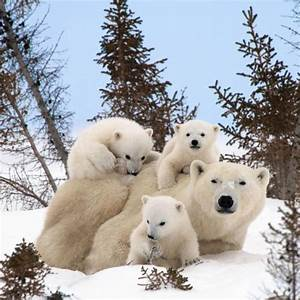 Pictures released of baby polar bears in Canada - NY Daily ...