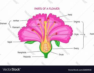 Part Of A Flower Biological Diagram Royalty Free Vector