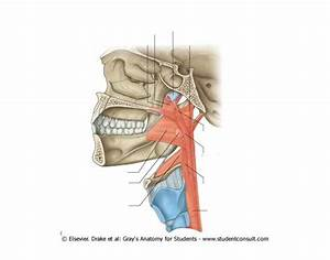 Longitudinal Pharyngeal Muscles