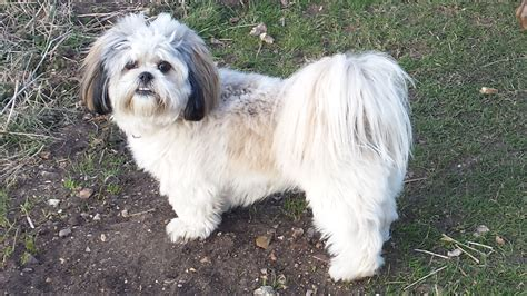 Lhasa Apso Mix Shedding Shih Tzu By Breeds Of Breeds Info Breeds Picture