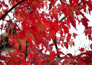 Ahorn Rote Blätter : acer ginnala feuerahorn 1feuerahorn rote bl tter im fr hen herbst malerischer kleiner baum ~ Eleganceandgraceweddings.com Haus und Dekorationen