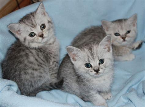 shorthair kittens for sale shorthair kitten for sale only 1 boy left