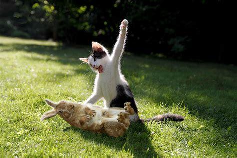 angry cat  murderous   meme sick chirpse