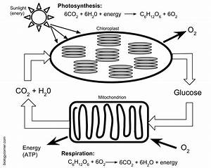 Photosynthesis And Respiration Model