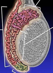 Testicular Pain