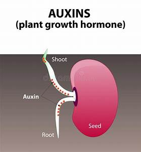 Auxins  Plant Hormone Stock Vector  Illustration Of Germinating