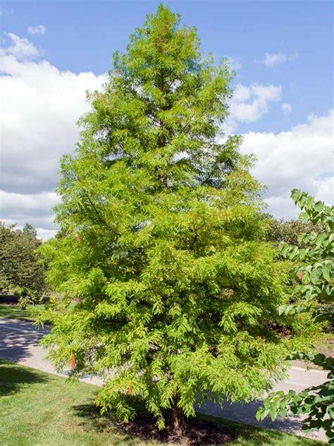 baldcypress chicago botanic garden