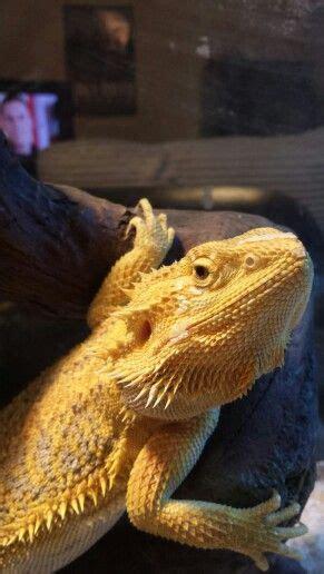 318 best ideas about bearded dragons on pinterest pet