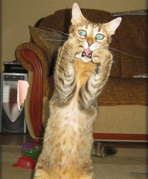 Scared Cat Meme - scaredy cat blank template imgflip