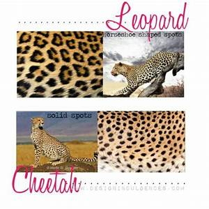 There is a difference between cheetah & leopard spots