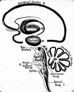 Image From Page 391 Of  U0026quot A Manual Of Anatomy U0026quot   1917