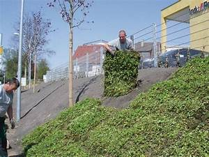 Hang Bepflanzen Bodendecker : bodendecker auf laufenden meter sicherer gr ner erosionsschutz f r hanglagen ~ Sanjose-hotels-ca.com Haus und Dekorationen