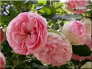 Rosier Grimpant Remontant : rosier 39 pierre de ronsard 39 p2 ~ Melissatoandfro.com Idées de Décoration